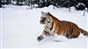 Tigerpawx's avatar